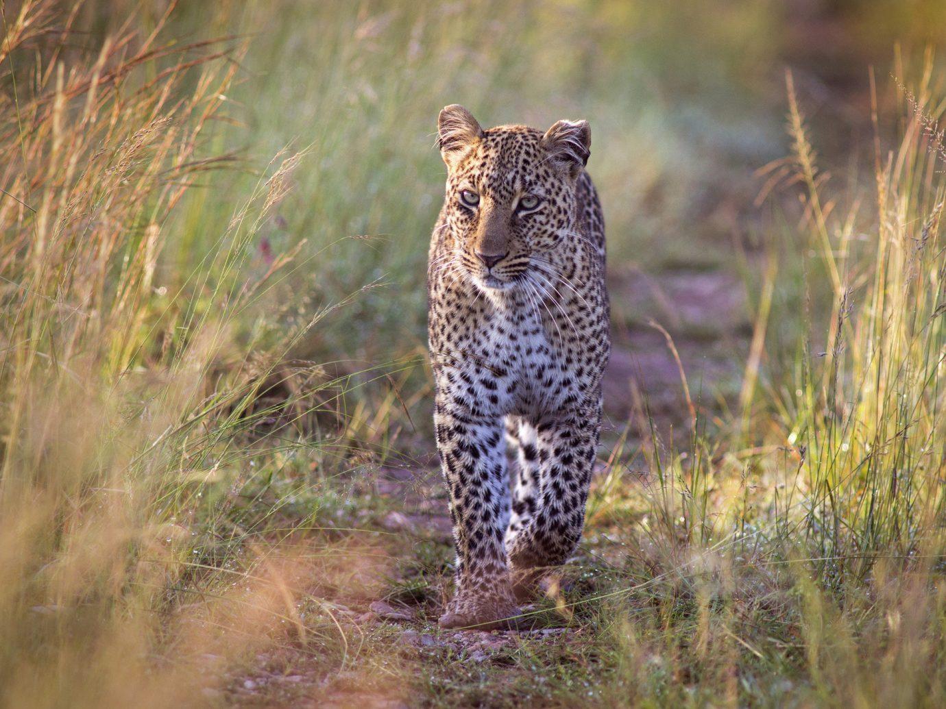 Offbeat grass outdoor animal big cat mammal leopard Wildlife vertebrate standing cheetah fauna field cat like mammal prairie jaguar Safari big cats