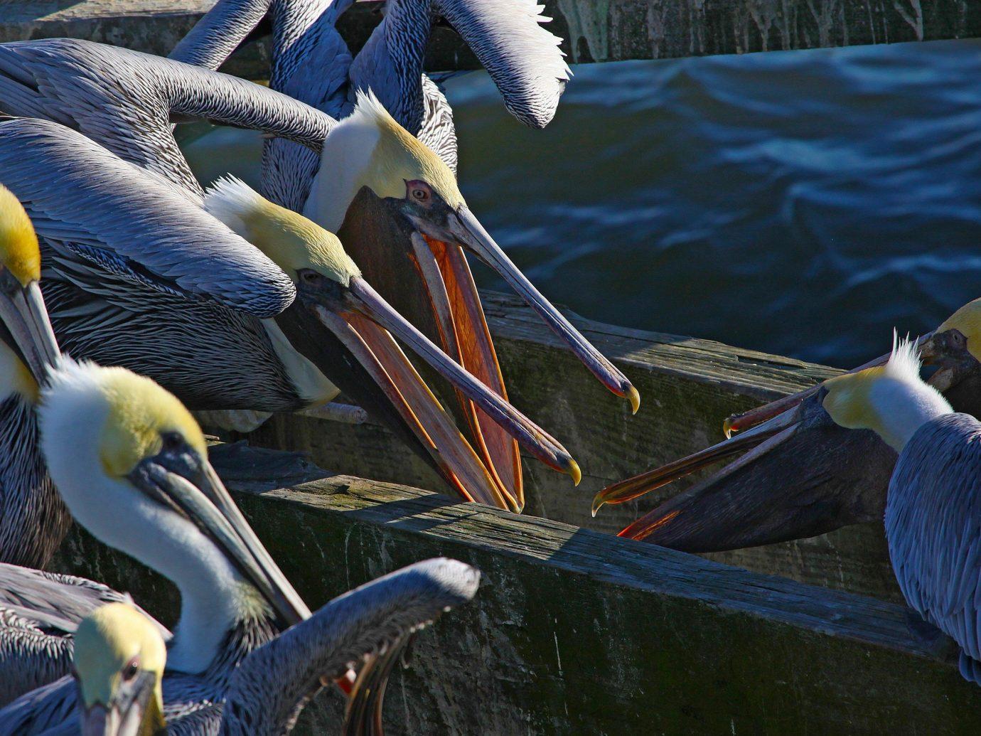 Trip Ideas Bird aquatic bird animal pelican water beak vertebrate blue fauna seabird Wildlife pelecaniformes wing zoo pond swimming
