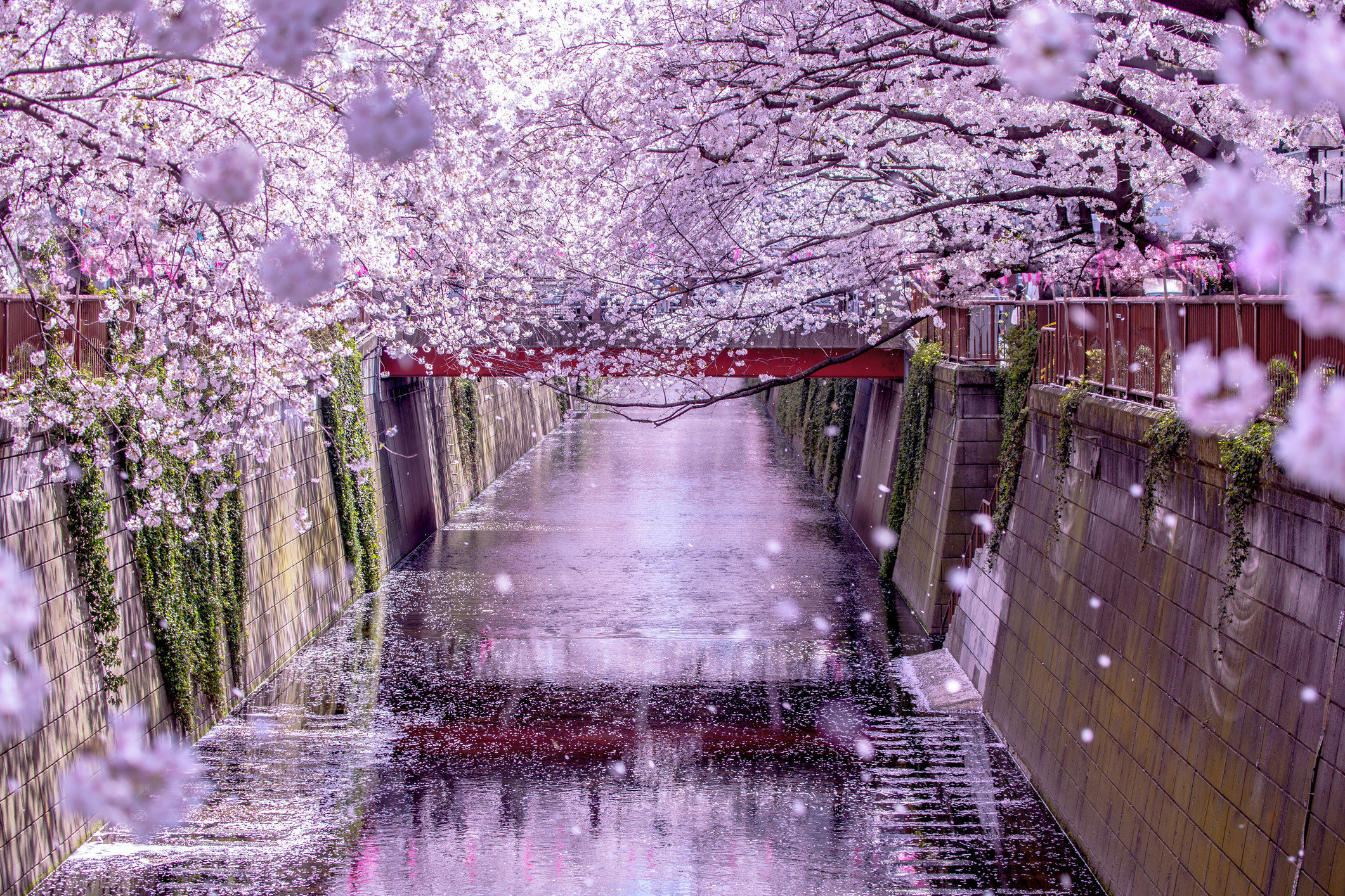 Offbeat outdoor flower plant cherry blossom blossom season spring Nature branch rain surrounded