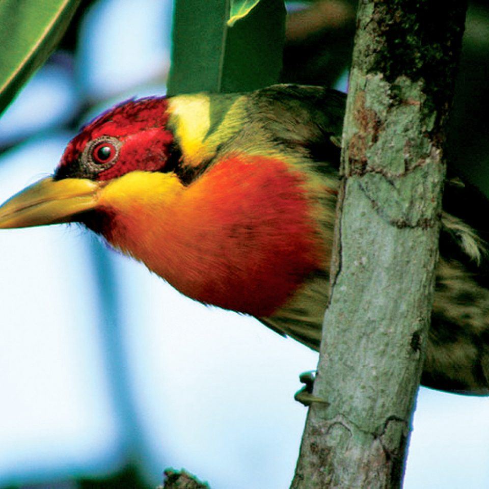 Adventure Forest Jungle Outdoor Activities Outdoors Bird animal tree beak Nature vertebrate branch fauna Wildlife perched colorful close up yellow black finch perching bird piciformes colored barbet