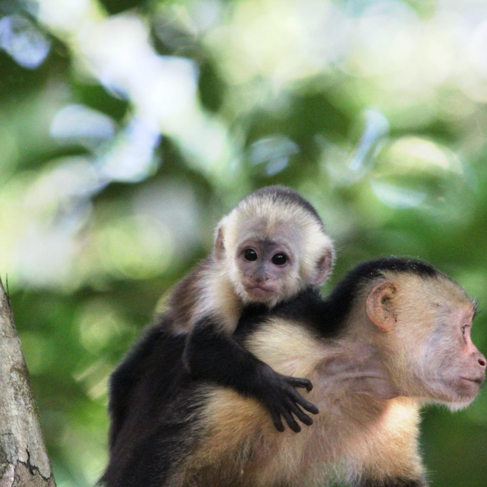 Adventure Eco Jungle Natural wonders Outdoor Activities Rustic Wellness tree animal mammal monkey primate white headed capuchin vertebrate new world monkey capuchin monkey fauna Wildlife macaque tufted capuchin chimpanzee