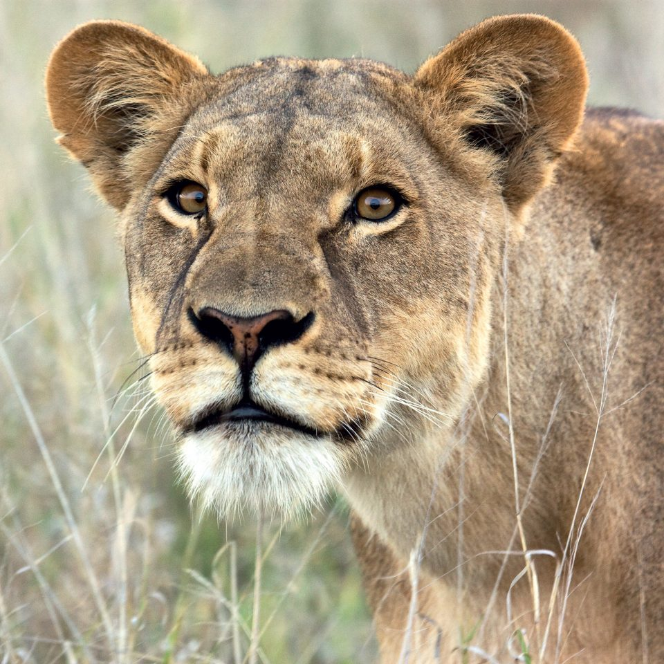 Jungle Natural wonders Outdoors Safari animal grass big cat mammal Lion Wildlife vertebrate standing field fauna whiskers snout masai lion cat like mammal big cats savanna grassland Adventure puma staring