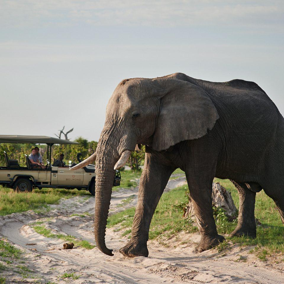 Jungle Natural wonders Outdoors Safari elephant grass animal sky indian elephant mammal Wildlife elephants and mammoths fauna african elephant standing savanna Adventure plain dirt trunk day