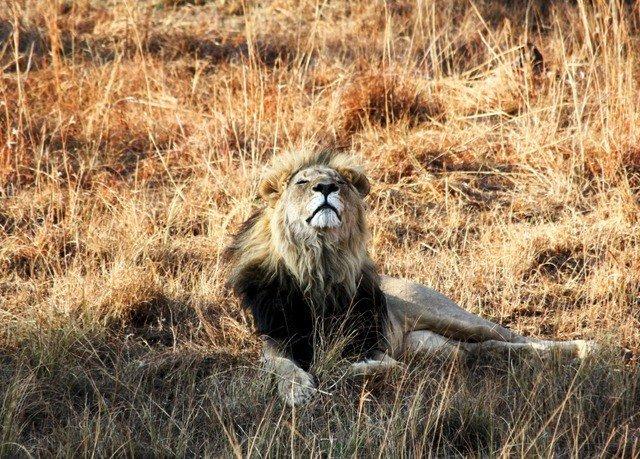 grass animal field mammal vertebrate Wildlife fauna Lion grassland old world monkey big cat savanna prairie Safari dry Adventure grassy