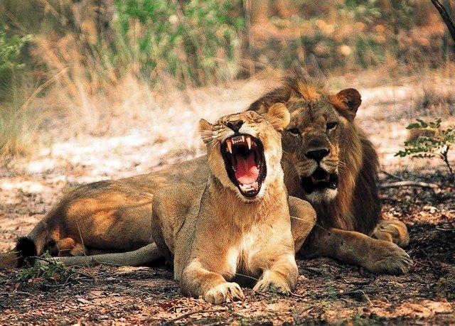 ground animal mammal Wildlife Lion laying fauna big cats puma Safari cat like mammal savanna big cat Adventure dirt