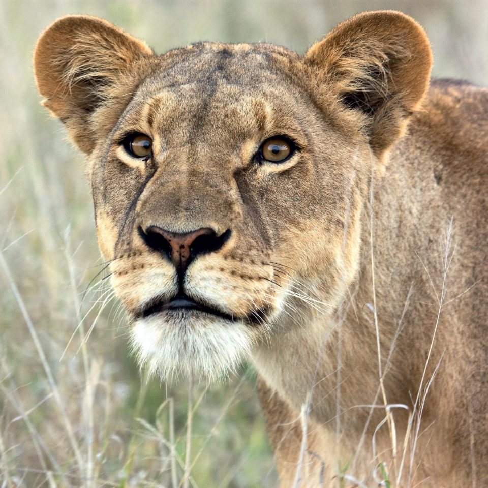 animal grass big cat mammal Lion Wildlife standing vertebrate field fauna whiskers snout masai lion cat like mammal Safari big cats savanna Adventure puma staring