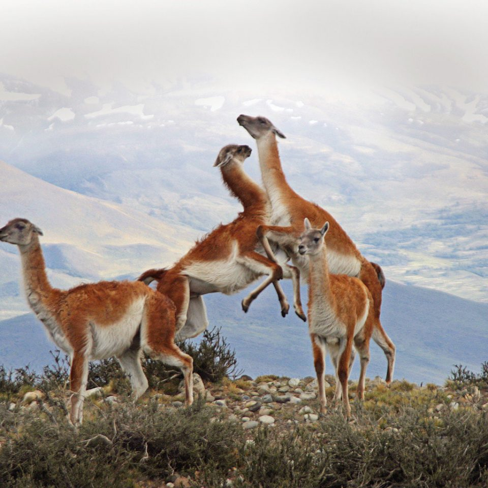 Adventure Mountains Outdoor Activities Outdoors Scenic views Sport sky animal grass guanaco mammal vicuña vertebrate fauna natural environment standing ecosystem Wildlife mountain camel like mammal mustang horse prairie springbok arabian camel herd group llama hillside