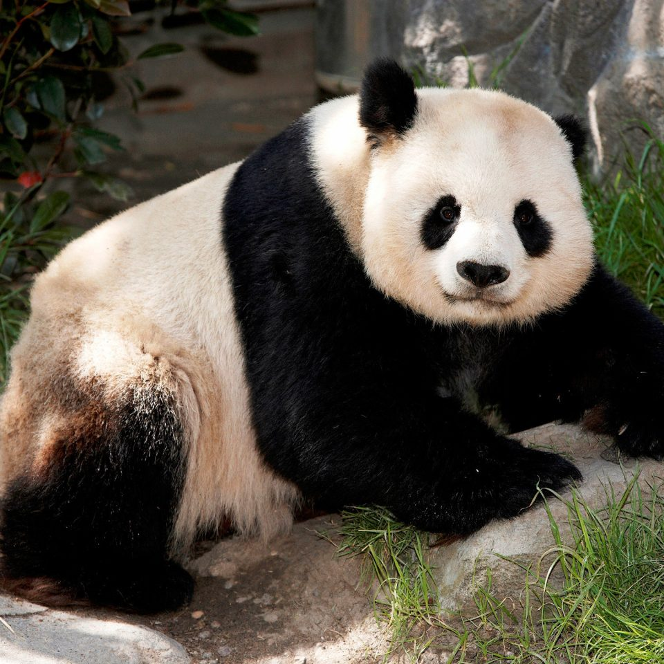 Adventure Nature Play Wildlife animal giant panda mammal ground bear vertebrate black fauna dog breed group red panda zoo plant
