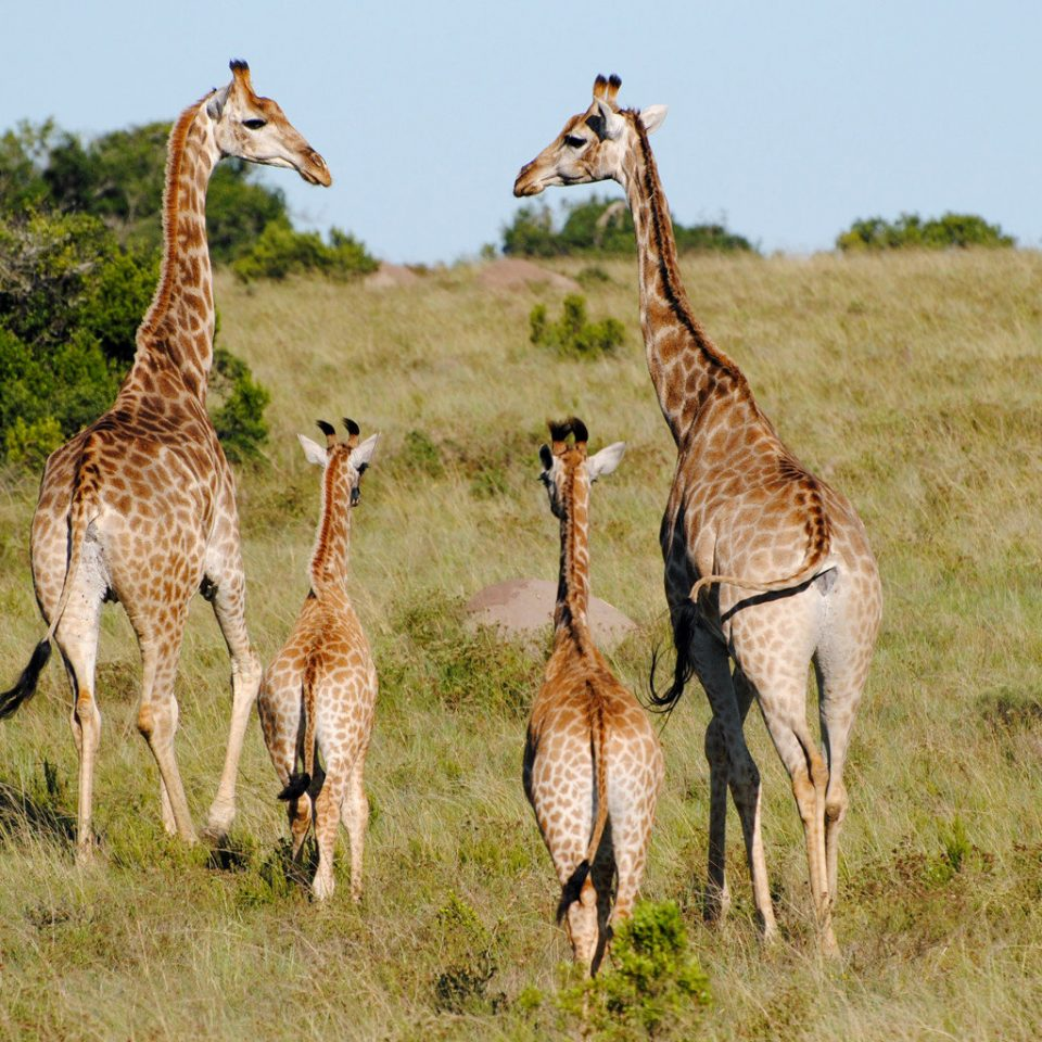 Adventure Outdoor Activities Outdoors Safari grass field sky animal mammal grassy vertebrate giraffe Wildlife savanna fauna standing grassland giraffidae guanaco group vicuña impala prairie gazelle herd plain lush