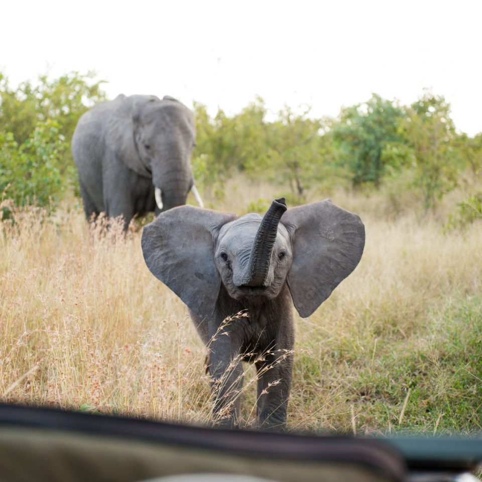 grass elephant tree animal mammal walking indian elephant fauna Wildlife elephants and mammoths field Safari Adventure savanna tall vehicle