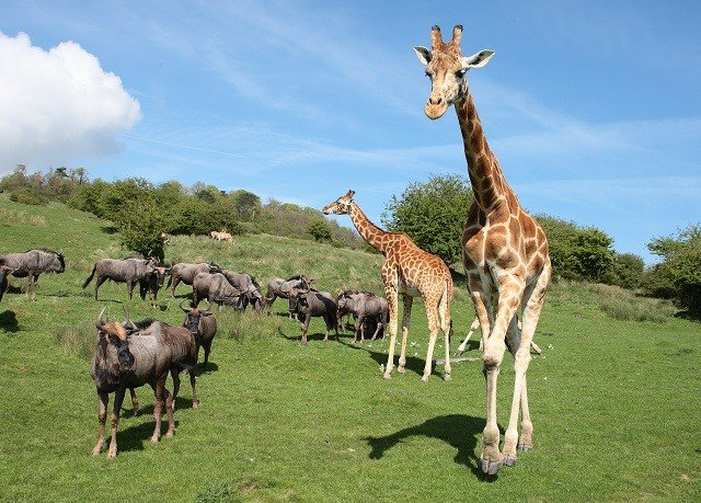 sky grass field mammal animal vertebrate fauna Wildlife giraffe grassland savanna giraffidae pasture grassy Safari Adventure herd lush
