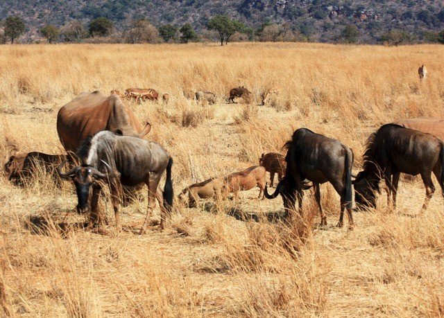 grass dry field herd brown group animal mammal savanna Wildlife wildebeest grassland fauna grazing standing pasture prairie plain Safari cattle like mammal Adventure steppe bovine open