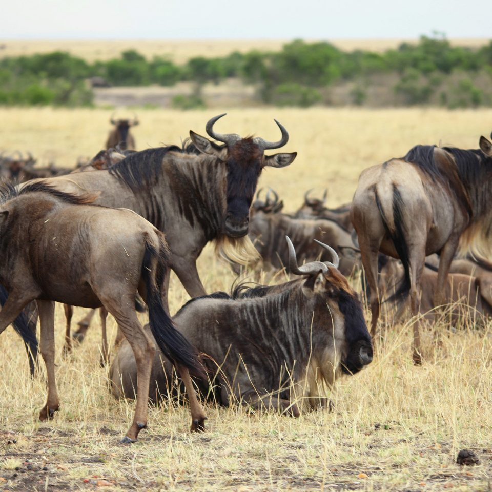 grass field antelope cow wildebeest animal herd mammal Wildlife vertebrate fauna grassland savanna cattle cattle like mammal Safari water buffalo Adventure plain group grazing horn bovine