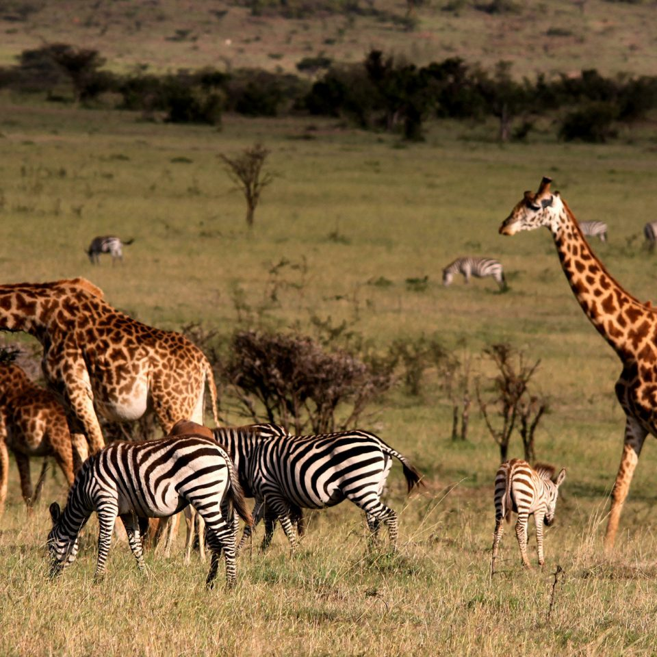 grass zebra field animal mammal savanna Wildlife fauna grassland Safari grassy giraffe herd Adventure giraffidae plain prairie dry