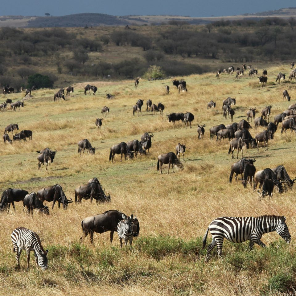 grass zebra field sky herd animal mammal Wildlife grassland savanna pasture grazing fauna wildebeest ecosystem plain prairie steppe Safari Adventure grassy cattle like mammal open land