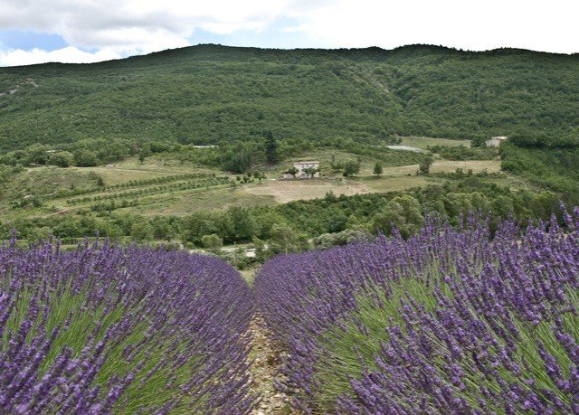 grass sky mountain lavender flower plant english lavender field grassland land plant prairie flowering plant agriculture meadow green plateau wildflower grassy lush traveling pasture hillside surrounded highland