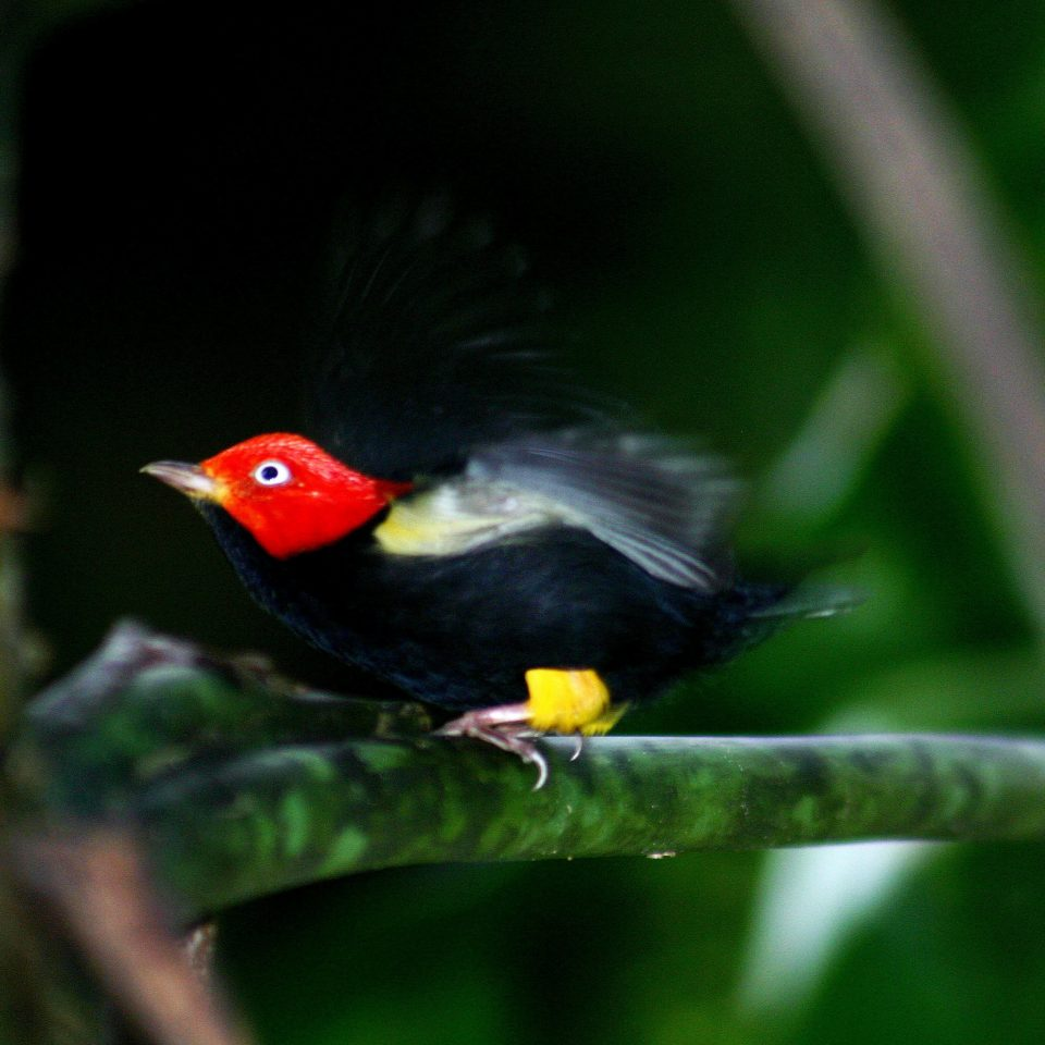 All-inclusive Eco Jungle Natural wonders Outdoors Bird tree yellow animal beak Nature colorful vertebrate green black red fauna Wildlife blackbird perched colored perching bird old world flycatcher branch tyrannid flower