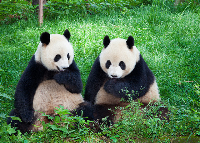 grass giant panda black animal mammal vertebrate bear fauna dog breed group red panda green