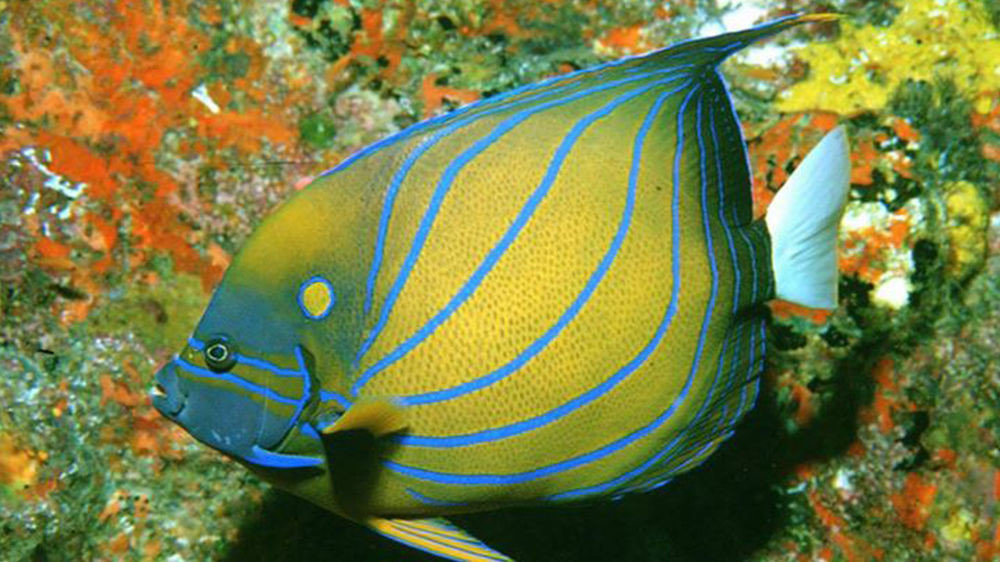tree animal marine biology fish spiny-finned fish yellow fauna biology coral reef fish underwater leaf pomacanthidae colorful coral reef tropics pomacentridae blue flower colored ocean floor