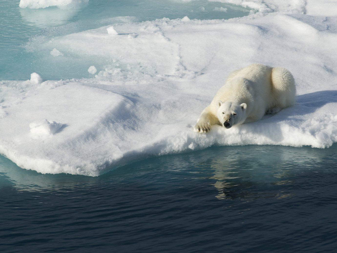 Trip Ideas outdoor water polar bear mammal arctic bear Ocean arctic ocean Sea wind wave wave water sport Nature surfing ice iceberg