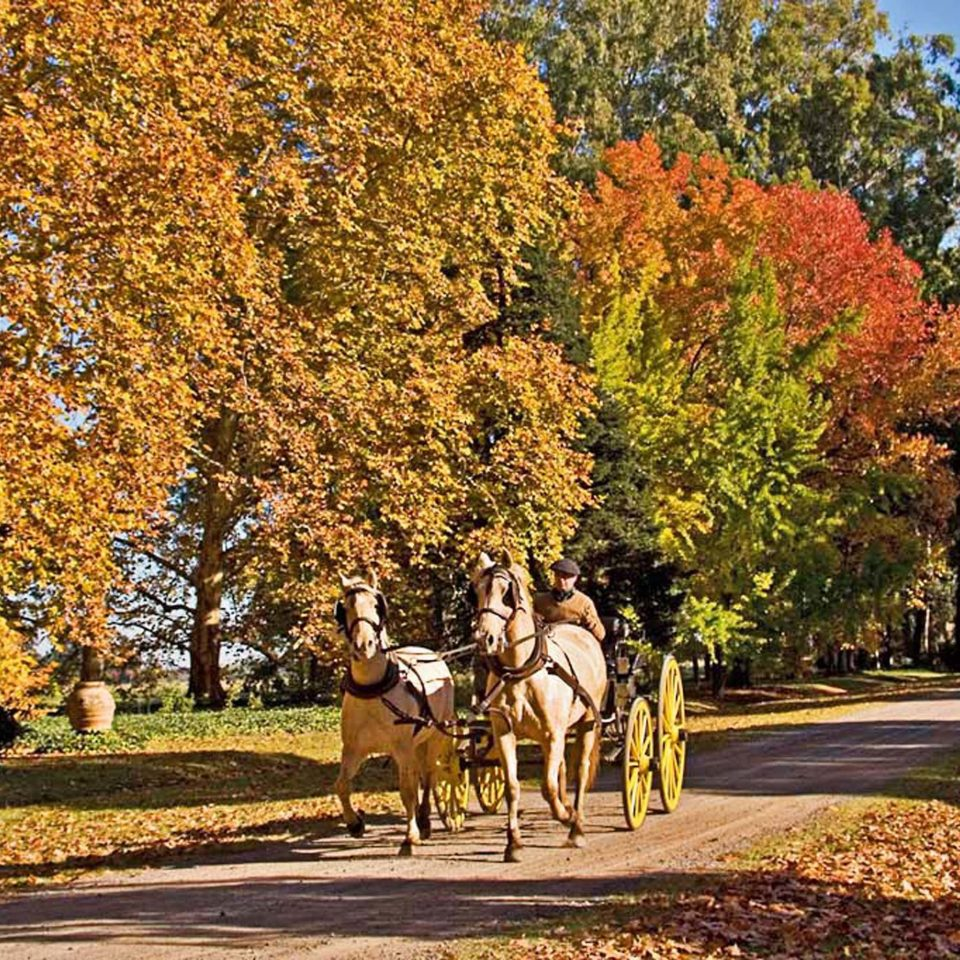 tree horse road riding autumn season street leaf plant woody plant rural area woodland park flower carriage drawn