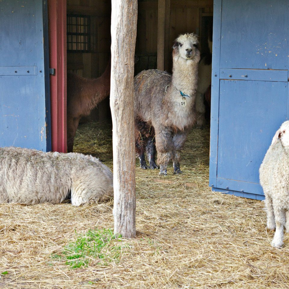 B&B Inn Outdoor Activities Waterfront Wellness sheep animal mammal standing hay alpaca sheeps Farm llama