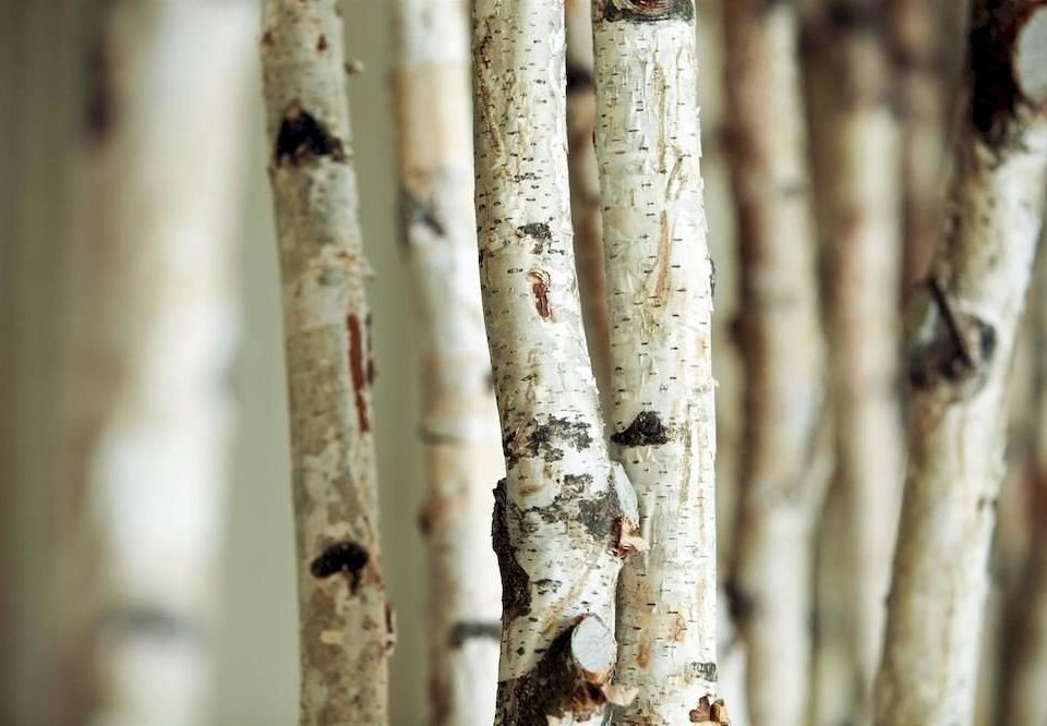 plant tree birch branch trunk close up twig woody plant leaf plant stem