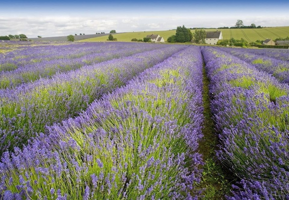 grass sky flower lavender english lavender plant field land plant grassland flowering plant bluebonnet lupin meadow prairie french lavender grass family wildflower grassy lush