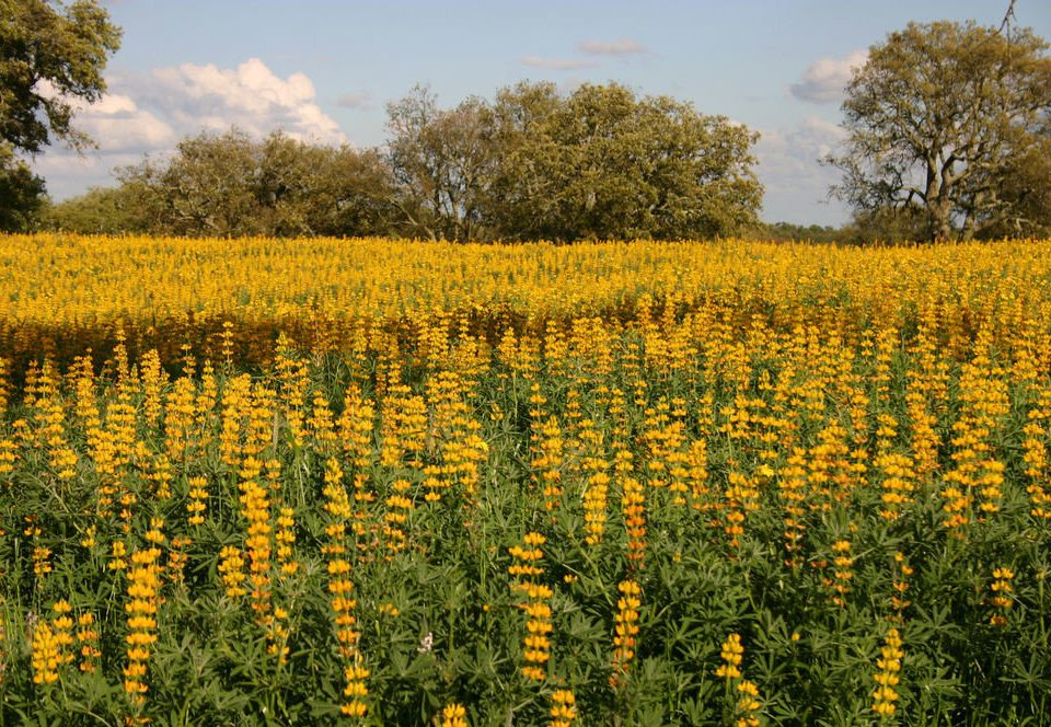 tree grass sky yellow flower field plant ecosystem prairie rapeseed flora meadow land plant brassica wildflower rural area flowering plant grass family mustard plant vegetable food sunflower