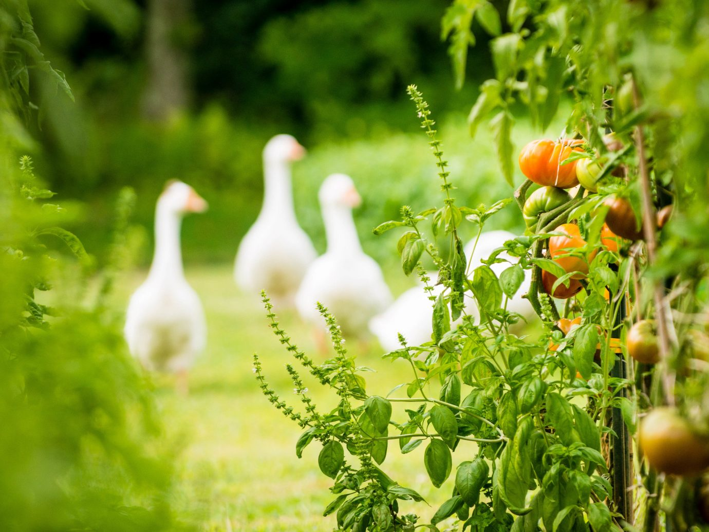 Boutique Hotels Fall Food + Drink Hotels Outdoors + Adventure Weekend Getaways tree outdoor Bird water bird grass duck ducks geese and swans waterfowl livestock field Garden goose beak plant lush