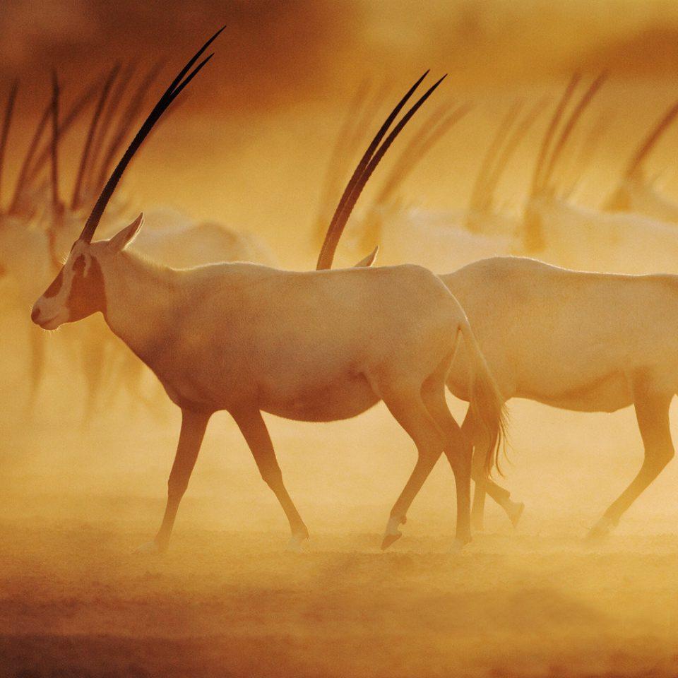 Cultural Wildlife animal mammal fauna mustang horse oryx antelope deer savanna horn