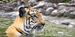 Trip Ideas outdoor water animal Wildlife tiger mammal rock fauna big cats zoo outdoor recreation cat like mammal Safari