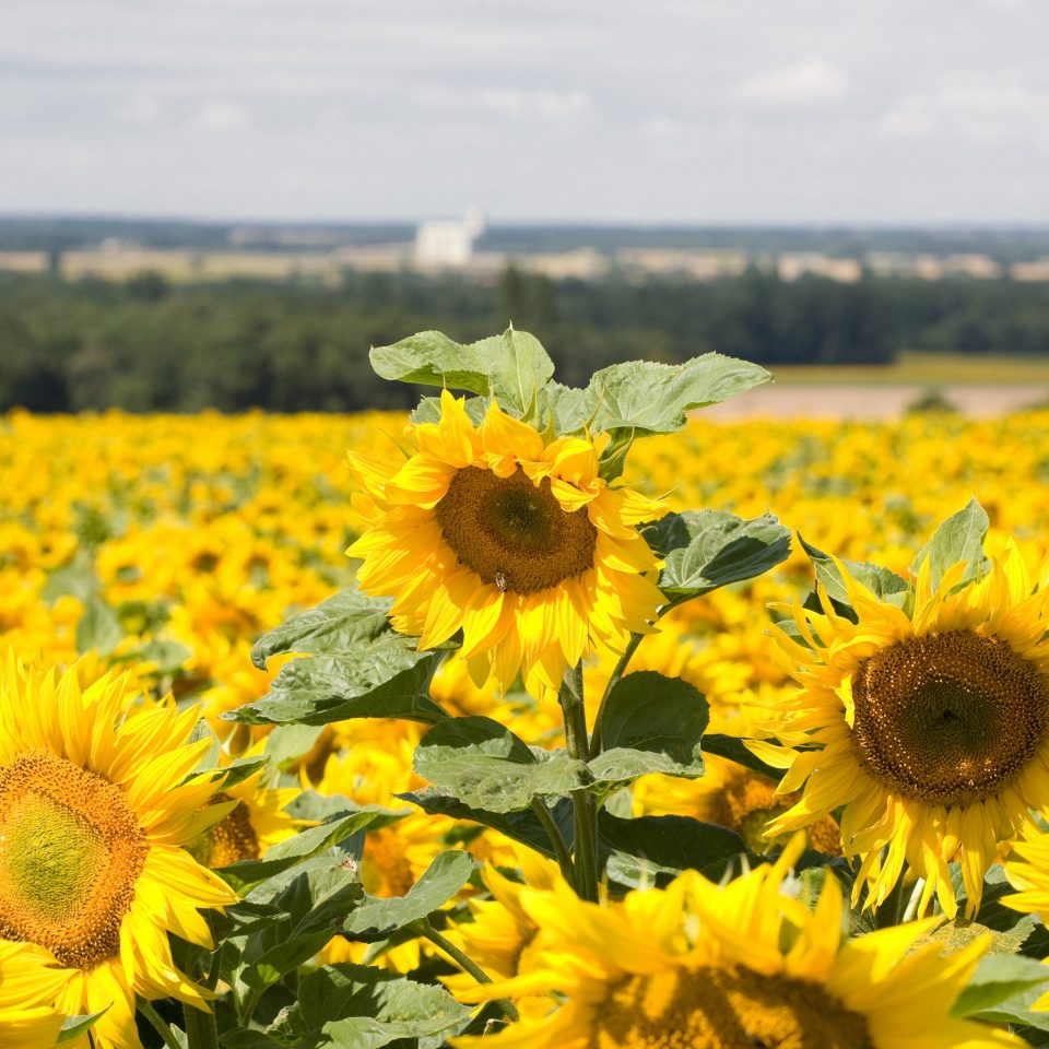 flower yellow sunflower plant field flora land plant flowering plant daisy family meadow prairie wildflower sunflower seed