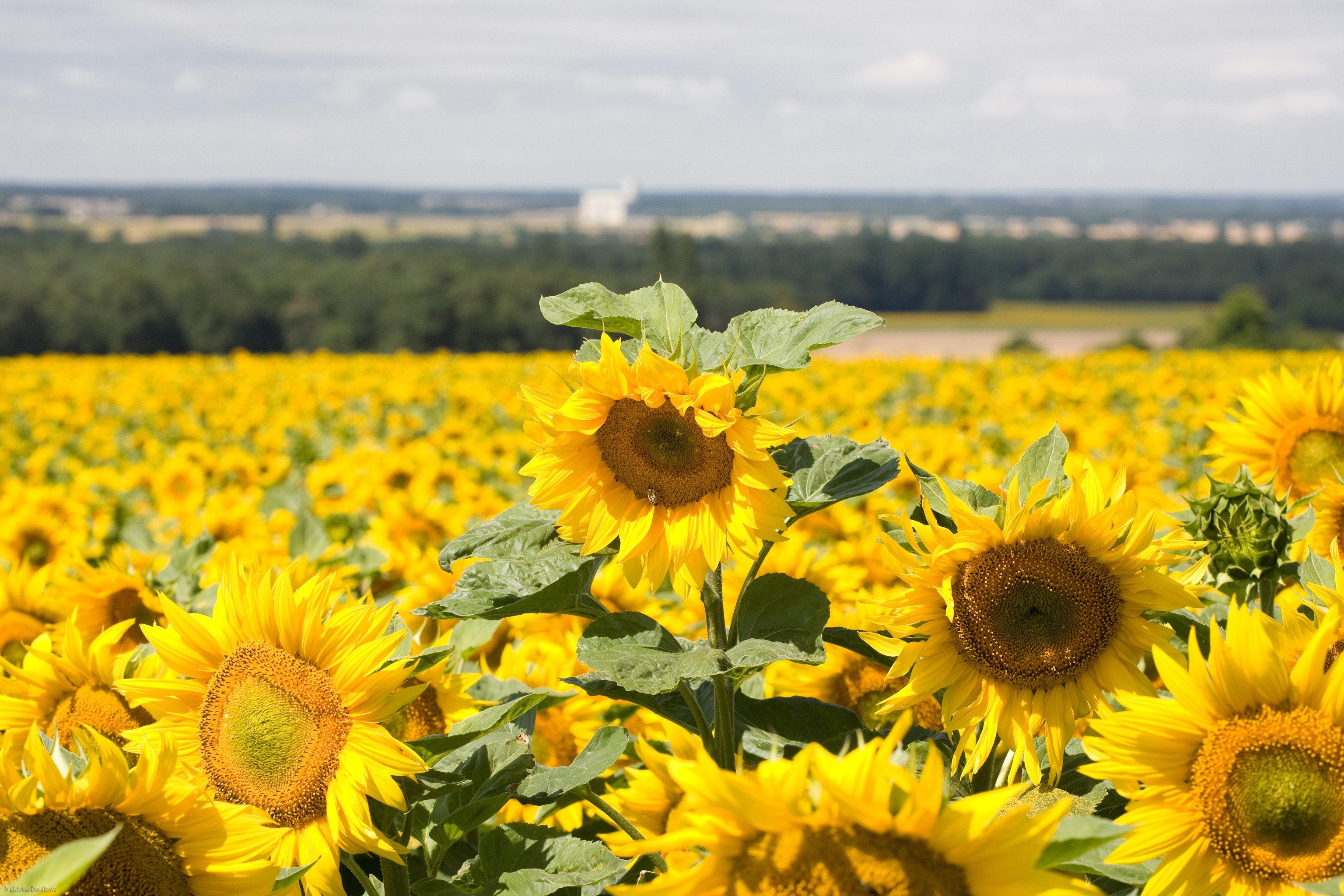 flower yellow sunflower plant field flora land plant flowering plant daisy family meadow prairie wildflower sunflower seed
