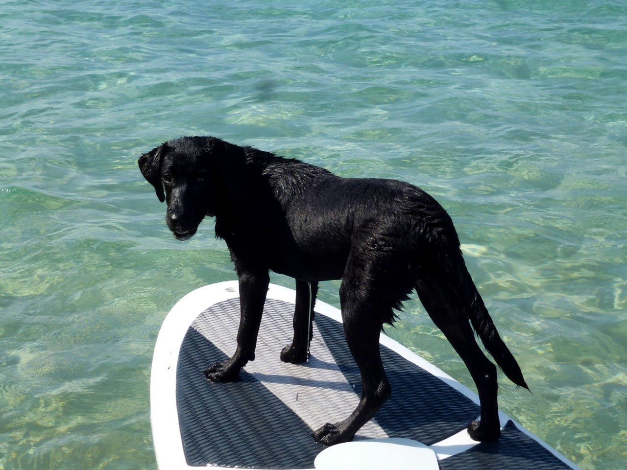 Offbeat water Dog mammal vertebrate outdoor black newfoundland labrador retriever dog like mammal