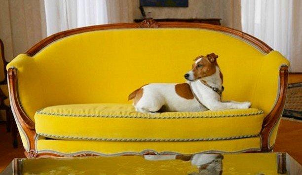Dog yellow dog like mammal chair dog breed product carnivoran companion dog couch puppy dog bed