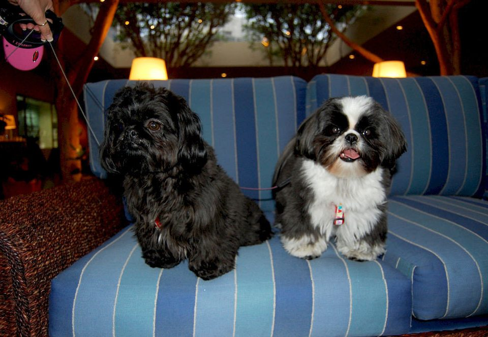 Dog sofa mammal vertebrate dog like mammal tibetan spaniel shih tzu puppy lhasa apso leather
