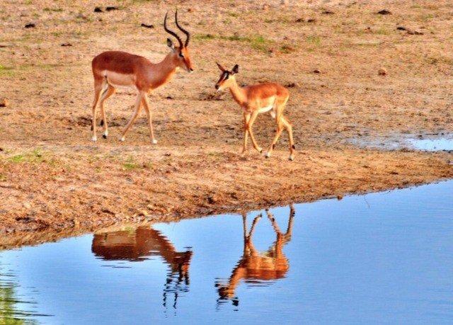 water animal grass ground mammal vertebrate Wildlife impala fauna pond antelope Drink gazelle drinking springbok prairie savanna shore