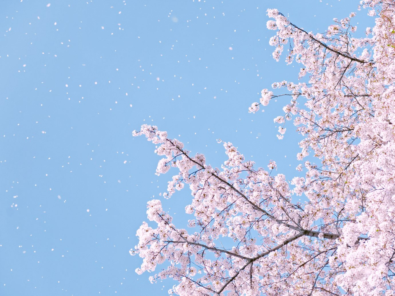 Offbeat tree sky outdoor flower branch plant blossom cherry blossom season spring
