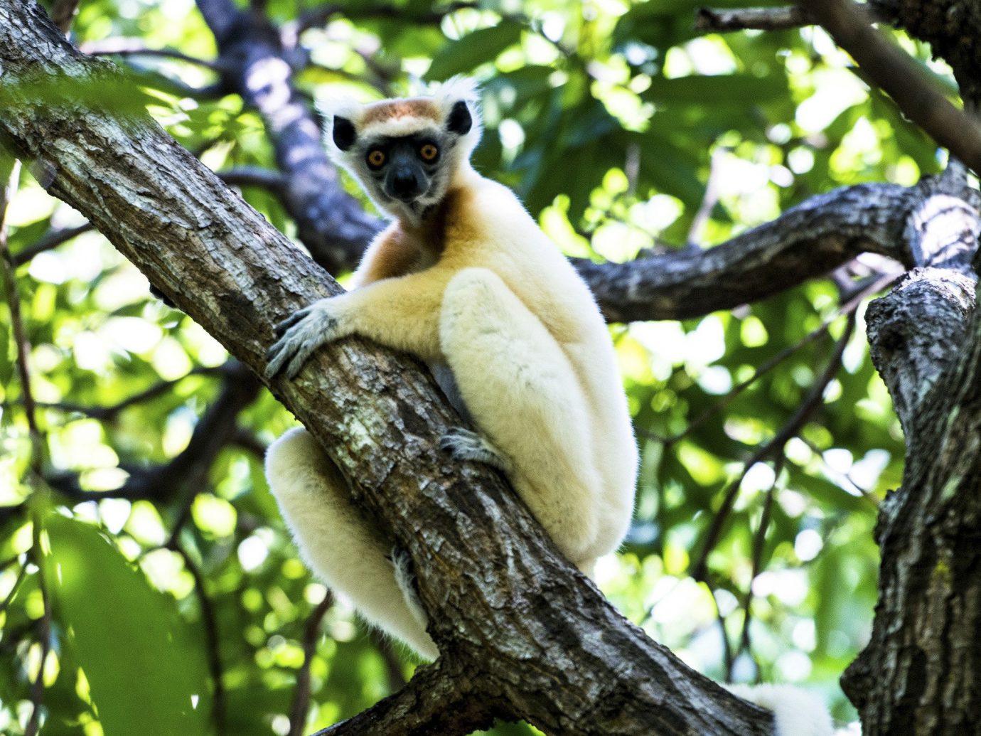 Lemur in Africa Safari