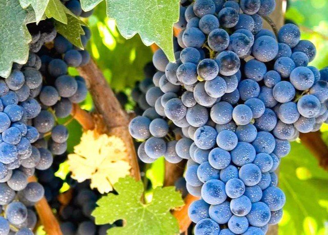 grape fruit food plant vitis land plant flowering plant grapevine family