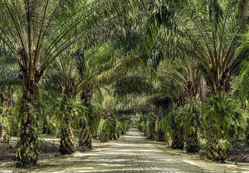 tree plant habitat vegetation natural environment green ecosystem palm family flora palm botany rainforest Forest arecales woody plant plantation Jungle elaeis land plant tropics date palm botanical garden Garden surrounded