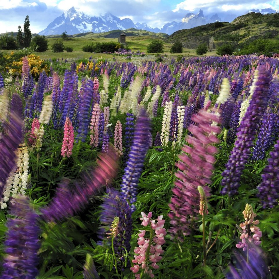 Hotels tree flower purple lupin plant lavender flora botany land plant english lavender flowering plant wildflower field french lavender Forest colored surrounded