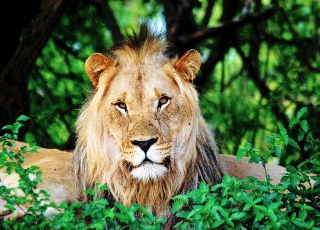 tree animal mammal big cat Lion vertebrate Wildlife fauna big cats cat like mammal mane whiskers masai lion Jungle zoo savanna Safari Forest