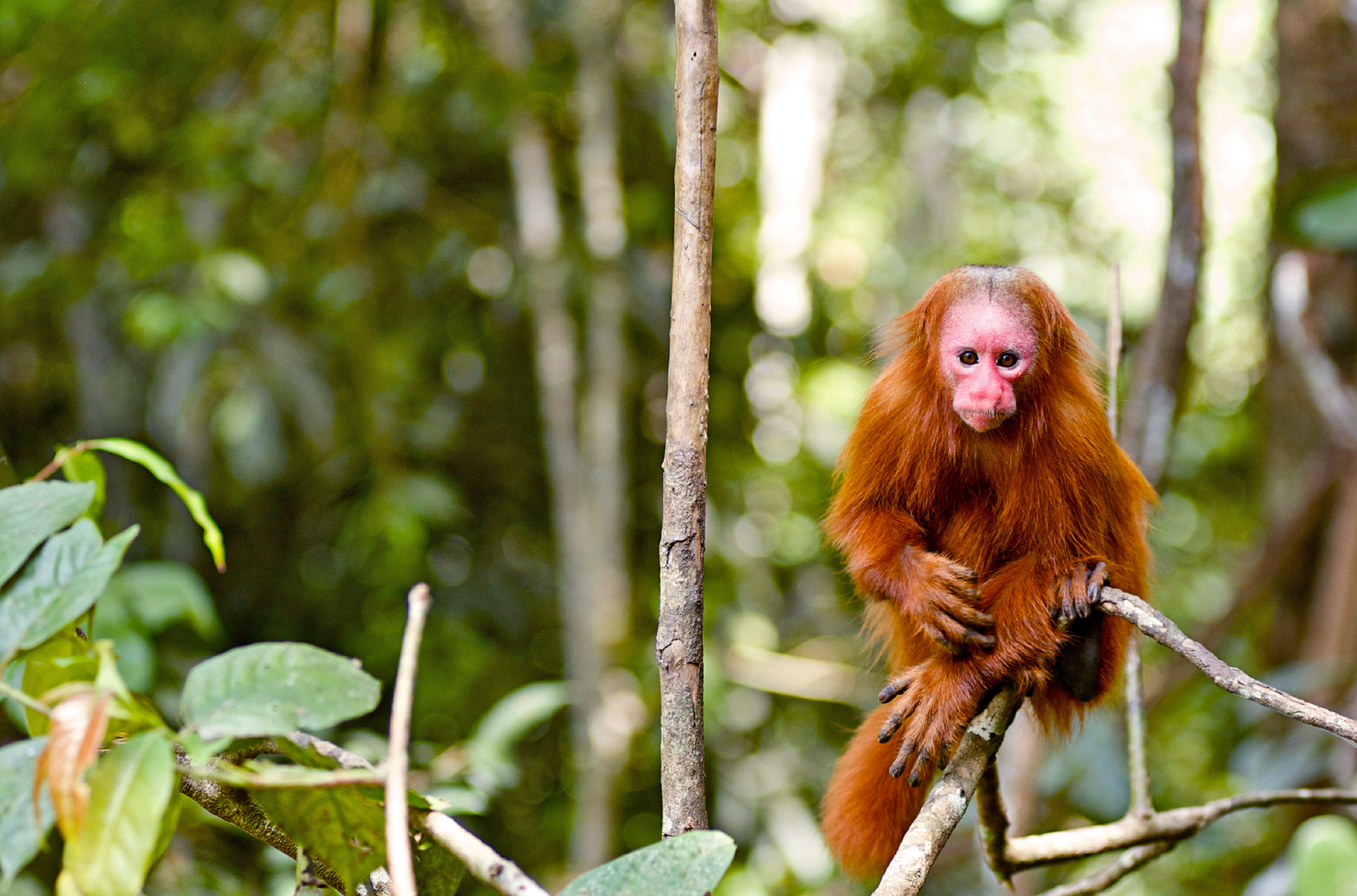 Jungle Natural wonders Nature Outdoor Activities Outdoors Scenic views Travel Tips Wildlife tree animal mammal primate vertebrate fauna new world monkey flora botany Forest monkey macaque leaf flower branch old world monkey woodland rainforest autumn