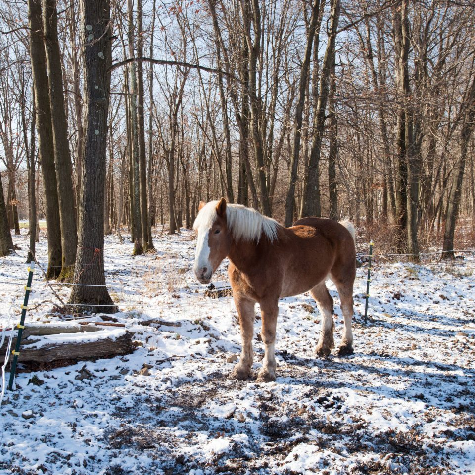 tree horse standing animal Winter mammal wilderness brown season snow Wildlife horse like mammal Forest pack animal grazing woodland mare wooded day