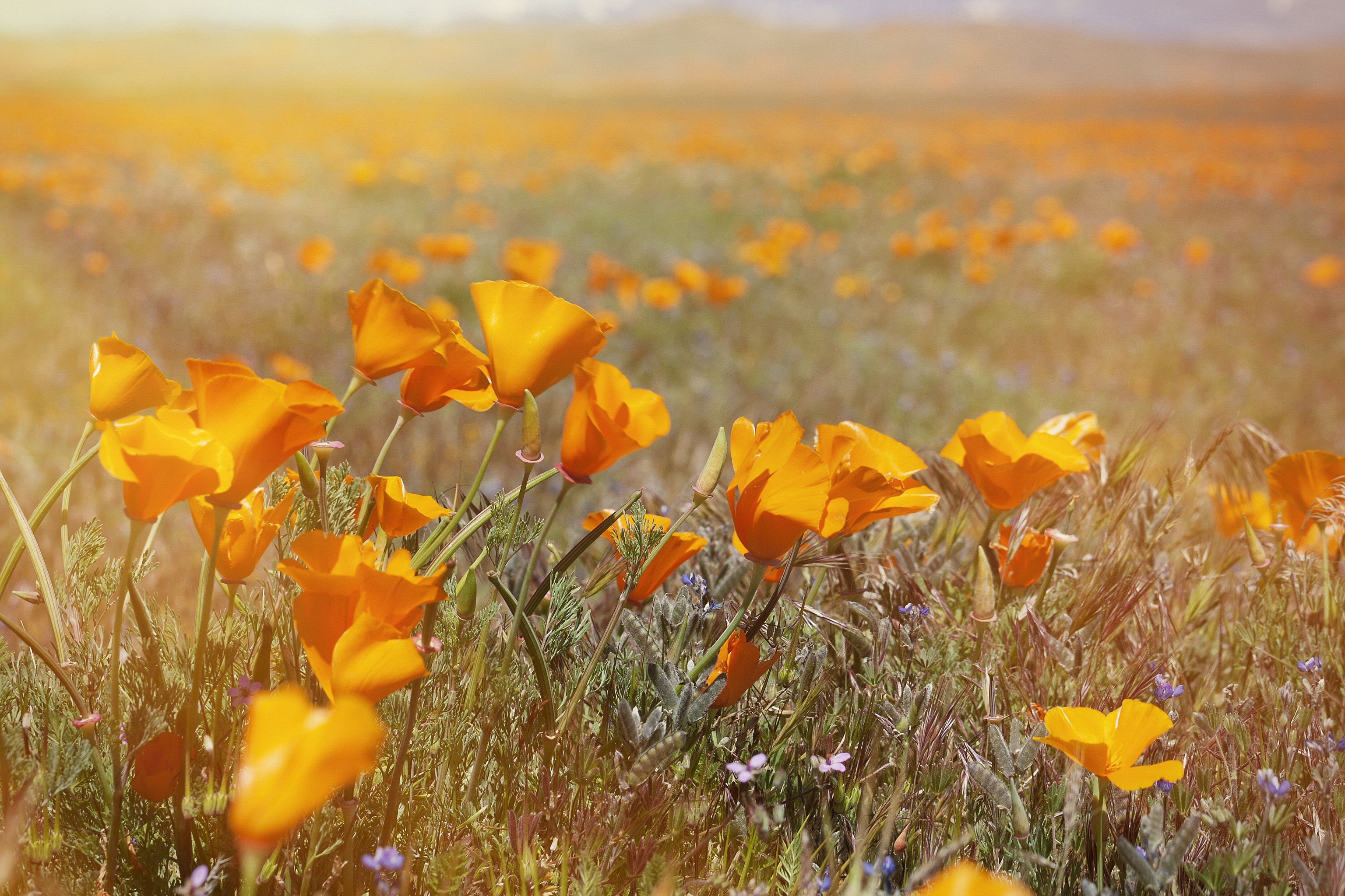 Trip Ideas flower grass Nature poppy plant eschscholzia californica flora natural environment ecosystem yellow grassland poppy family prairie meadow field land plant wildflower flowering plant petal leaf tundra coquelicot plain autumn grass family sunlight steppe colored