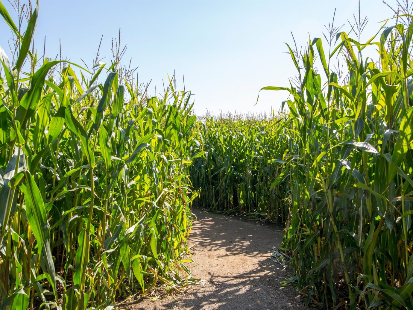 Trip Ideas outdoor tree sky agriculture plant crop field food maize grass family plantation palm grass produce commodity food grain bushes surrounded lined corn