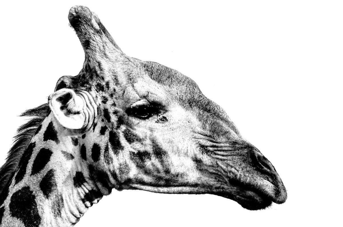 Trip Ideas animal reptile giraffe mammal black and white vertebrate giraffidae looking head monochrome photography monochrome zebra illustration drawing sketch close staring