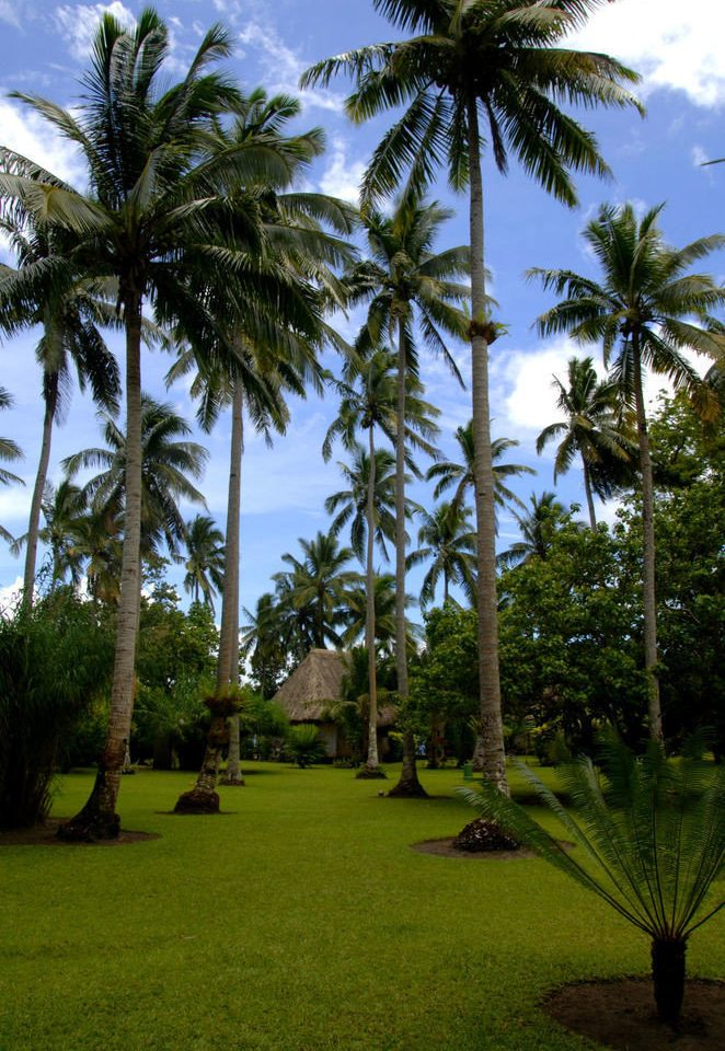 tree palm grass sky plant palm family botany arecales woody plant tropics Resort Garden flower borassus flabellifer Jungle lawn plantation lined lush